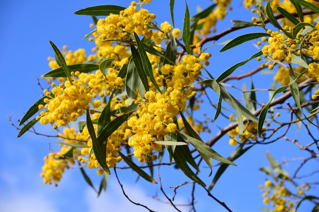 Acacia dealbata falsa-mimosa